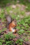 Squirrel in spring Royalty Free Stock Photo