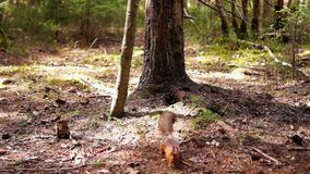 Squirrel in spring pine forest stock footage
