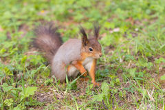 Squirrel in spring Stock Images