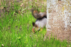 Squirrel spring in the woods Stock Image