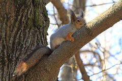 Squirrel spring in the woods Royalty Free Stock Images