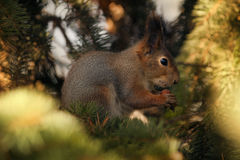Squirrel in spruce branches. Royalty Free Stock Photography