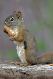 Squirrel with Spruce Cone Royalty Free Stock Photography