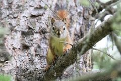 A Squirrel on a spruce tree branch looking directly at the camera royalty free stock photography