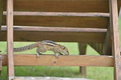 Squirrel. A Squirrel at a chairin a garden Royalty Free Stock Photos