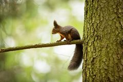 Squirrel. The squirrel was photographed in the Czech Republic. Squirrel is a medium-sized rodent. Inhabiting a wide territory ranging from Western Europe to royalty free stock photos
