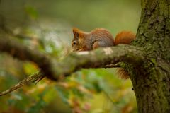 Squirrel. The squirrel was photographed in the Czech Republic. Squirrel is a medium-sized rodent. Inhabiting a wide territory ranging from Western Europe to stock photos