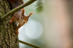 Squirrel. The squirrel was photographed in the Czech Republic. Squirrel is a medium-sized rodent. Inhabiting a wide territory ranging from Western Europe to royalty free stock image
