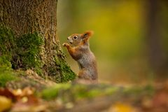 Squirrel. The squirrel was photographed in the Czech Republic. Squirrel is a medium-sized rodent. Inhabiting a wide territory ranging from Western Europe to stock images