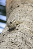 Squirrel. S are members of the family Sciuridae, a family that includes small or medium size rodents. The  family includes tree s, ground s, chipmunks, marmots stock images