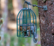 Squirrel in Squrirrel proof bird feeder Royalty Free Stock Image