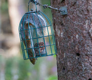 Squirrel in Squrirrel proof bird feeder Royalty Free Stock Images