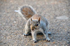 Squirrel in St James Park Stock Image