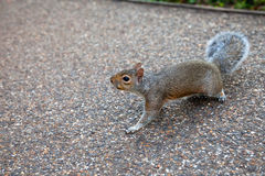 Squirrel. In St James Park in London Stock Photography
