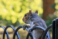 A squirrel in St. James Park in London Royalty Free Stock Images