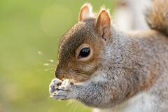 Squirrel in St James's Park, London #3 Stock Photography