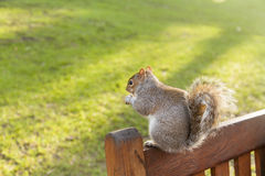 Squirrel in St James's Park, London Stock Image