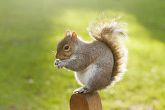Squirrel in St James's Park, London Royalty Free Stock Photo