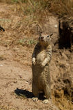 Squirrel standing. Closeup of a squirrel standing upright on hind legs Stock Photos