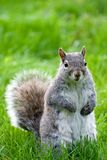 Squirrel Standing. Up in Grass Stock Photos