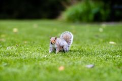 Squirrel standing alert Royalty Free Stock Image