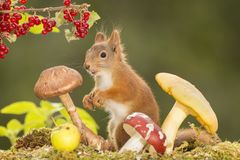 Squirrel standing with apple, currant and mushrooms Stock Photo
