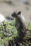 Squirrel Standing at Attention. Close up of squirrel standing perfectly still and alert royalty free stock photos