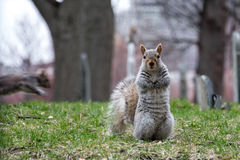 Squirrel standing Stock Image