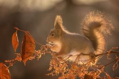 Squirrel standing on branches in sunlight Stock Image