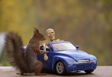 Squirrel standing with a car with a skeleton Royalty Free Stock Images
