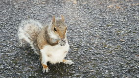 Squirrel standing and eating stock video