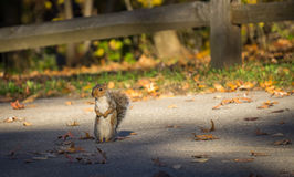 Squirrel standing in front of  wooden fence Stock Images