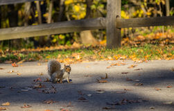 Squirrel standing in front of  wooden fence Royalty Free Stock Photo