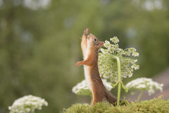 Squirrel standing with Giant Hogweed reaching up Royalty Free Stock Photo