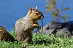 Squirrel Standing in the Grass Stock Image