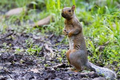 Squirrel standing royalty free stock images