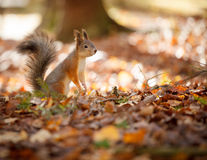 Squirrel standing on ground Royalty Free Stock Images