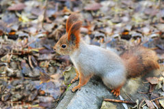 Squirrel standing on the ground Stock Images
