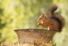 Squirrel standing on helmet. Red squirrel standing on a helmet Royalty Free Stock Images