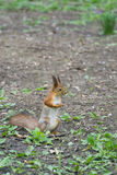 Squirrel standing on hind legs in a ground Royalty Free Stock Images