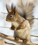 Squirrel standing on hind smell Royalty Free Stock Images