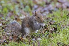 A squirrel on Southampton Common. A squirrel standing on his haunches eating Southampton Common, Hampshire, UK Stock Photography