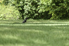 Squirrel standing in a meadow at Prince`s Island Park. A black squirrel standing in a meadow at Prince`s Island Park close to Calgary downtown royalty free stock images