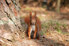 Squirrel. Standing next drzewai viewing ahead Royalty Free Stock Image