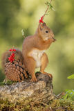 Squirrel  standing with a  pine cone Stock Photos