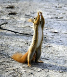 Squirrel standing and reaching. Squirrel standing on the ground on it's hind legs, reaching upward royalty free stock image