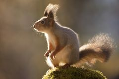 Squirrel standing on a rock in sun. Red squirrel is standing on a rock in sun Stock Photos