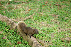 Squirrel. Standing on the roots Stock Photos