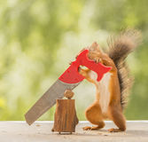 Squirrel standing  with a saw and a nut Stock Photo