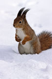 Squirrel standing in snow Stock Photography